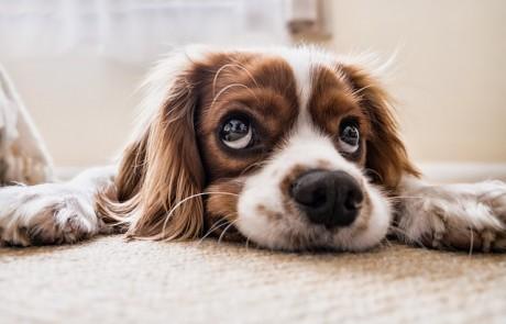 מה חשוב לדעת על כלב קינג צ׳ארלס