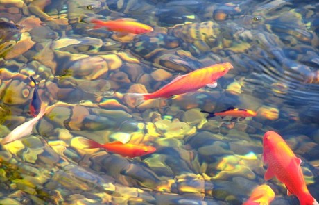 איך להקים בריכות דגים