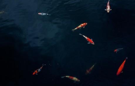 תפקידו של הפילטר בבריכת דגים